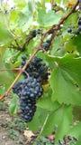 Bossen van blauwe druiven Stock Afbeeldingen