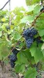 Bossen van blauwe druiven Stock Foto's