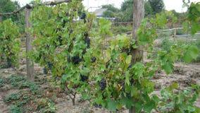 Bossen van blauwe druiven Royalty-vrije Stock Afbeeldingen