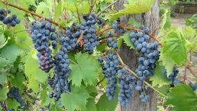 Bossen van blauwe druiven Royalty-vrije Stock Afbeelding