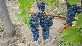 Bossen van blauwe druiven Royalty-vrije Stock Foto