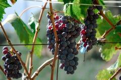Bossen van blauwe druiven in de tuin stock afbeelding