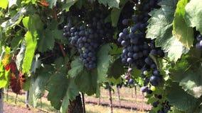 Bossen van donkere wijnstokdruif met multicolored onrijpe bessen in wijngaard stock videobeelden