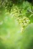 Bossen van druiven Royalty-vrije Stock Afbeeldingen