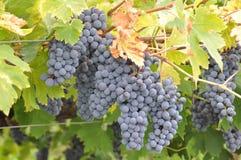 Bossen van druiven Stock Fotografie