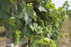 Bossen van druiven in de wijngaard Stock Afbeelding