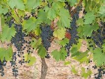 Bossen van druiven in een kleine lokale wijngaard stock afbeeldingen