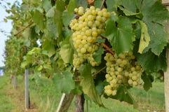 Bossen van druiven in een wijngaard vóór oogst royalty-vrije stock foto