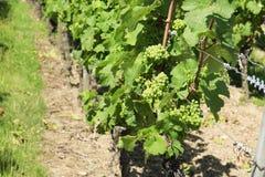 Bossen van Druiven op de wijnstok Stock Afbeelding