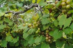 Bossen van Druiven op de wijnstok royalty-vrije stock fotografie