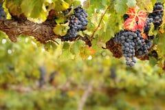 Bossen van druiven op oude wijnstok Stock Afbeeldingen