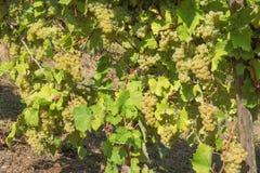 Bossen van druiven op wijnstokken stock afbeelding