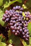 Bos van druiven Royalty-vrije Stock Foto