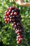 Bossen van druivenhand - door het meisje wordt gehouden dat stock foto's