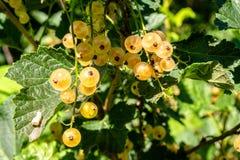 Bossen van gele besbessen die op de tak van een struik groeien stock afbeelding