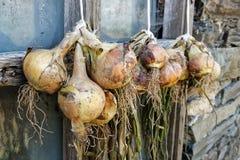 Bossen van gele uien die en buiten een rustieke winst hangen drogen Royalty-vrije Stock Fotografie