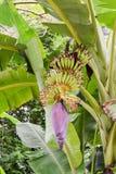 Bossen van groene bananen die landbouwbedrijf kweken Stock Afbeelding