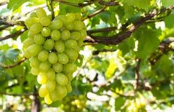 Bossen van groene druiven Stock Afbeeldingen