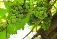 Bossen van groene druiven in de de zomerzon Stock Afbeeldingen