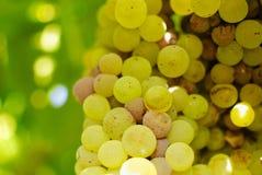 Bossen van groene druiven, in omringend licht. Stock Foto's