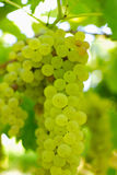 Bossen van groene druiven, in omringend licht. Stock Fotografie