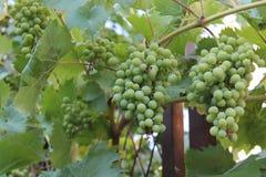 Bossen van groene onrijpe druiven op de wijnstok royalty-vrije stock foto