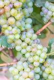 Bossen van groene wijndruiven Stock Foto