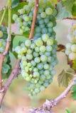 Bossen van groene wijndruiven Royalty-vrije Stock Foto's