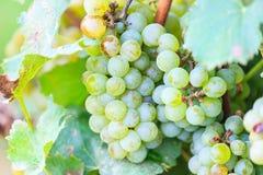 Bossen van groene wijndruiven Stock Foto's
