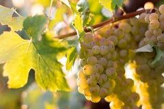 Bossen van groene wijndruiven die in wijngaard groeien Sluit omhoog mening van verse groene wijndruif Bossen van groene wijndruiv Royalty-vrije Stock Foto