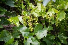Bossen van groene wijndruiven op wijnstok Stock Afbeelding