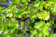 Bossen van groene wijndruiven op wijnstok Stock Afbeeldingen