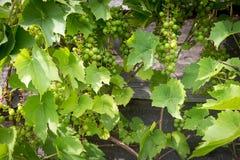 Bossen van groene wijndruiven op wijnstok Royalty-vrije Stock Foto's