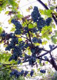 Bossen van grote en sappige rijpe rode wijndruiven op de wijnstok stock foto's