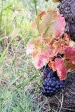 Bossen van purpere druiven Royalty-vrije Stock Afbeelding