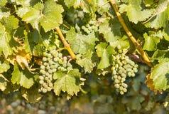 Bossen van Riesling-druiven op wijnstok in wijngaard in oogsttijd stock fotografie