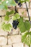 Bossen van rijpe druiven Stock Foto