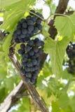 Bossen van rijpe druiven Royalty-vrije Stock Afbeeldingen