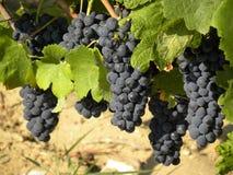 Bossen van rijpe druiven klaar voor oogst royalty-vrije stock foto's