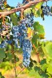 Bossen van rijpe druiven op de wijnstok Royalty-vrije Stock Foto