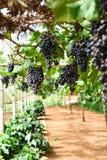 Bossen van rijpe druiven vóór oogst stock foto's
