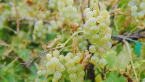 Bossen van rijpe witte druiven Wijngaard dichtbij Meer Ontario, Verenigde Staten ProRes 10 beetjevideo van HK 422 stock videobeelden