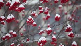 Bossen van rode die lijsterbes met sneeuw worden behandeld stock video