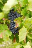Bossen van rode druiven die in de wijngaard groeien Stock Fotografie