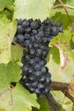 Bossen van rode druiven die in de wijngaard groeien Royalty-vrije Stock Fotografie