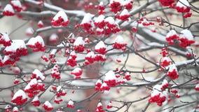Bossen van rode lijsterbes onder de witte sneeuw stock footage