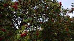 Bossen van rode lijsterbes op de bomen Het slingeren van de wind Lijsterbessenbosje stock videobeelden