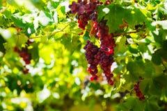 Bossen van rode wijndruiven die op de wijn in recente middagzon hangen Stock Fotografie
