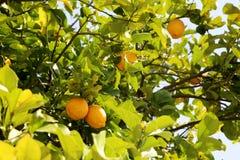 Bossen van verse gele rijpe citroenen op citroenboom stock foto