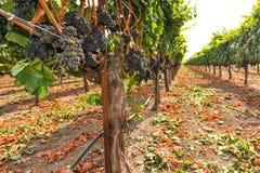 Bossen van wijndruiven die in wijngaard groeien Stock Afbeelding